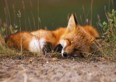 Sleepy Fox byKennan Ward Red Fox, Alaska