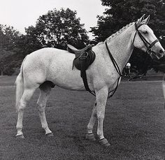 Previously unpublished photo (by George Lynn) of Snowman taken at the Greenway (Madeira School) horse show c 1960