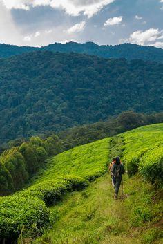 Gisakura tea plantations in Rwanda