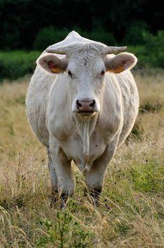 cow   File:Charolais cow Auvergne 2007 07.jpg - Wikimedia Commons