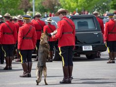 dog Danny, sniffs the stetson of his partner, slain Const. David Ross, during the funeral procession for the 3 RCMP officers killed on duty in Moncton, NB on June Later Danny was heard crying next to casket at funeral. Military Working Dogs, Military Dogs, Police Dogs, Dog Crying, War Dogs, Service Dogs, Dog Quotes, German Shepherd Dogs, German Shepherds
