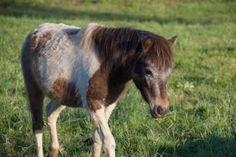 #mini #pony #horse #madisonfields #farm Mini Pony, Miniature Horses, Pony Horse, Montgomery County, Fields, Cute, Animals, Animales, Animaux