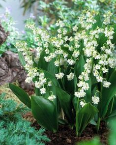 A double-flowered Lily-of-the-Valley (Convallaria majalis) with very fragrant white bells and arching green leaves. Easy to grow in shade, it blooms in spring. Order your bareroot plants today at Park Seed. Growing Lilies, Valley Flowers, Deer Resistant Plants, Flower Garden Design, Spring Bulbs, Shade Perennials, Types Of Soil, Garden Structures, Green Plants