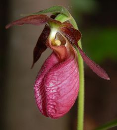 Lady Slipper Flower I found one of these in my woods they r such gorgeous flowers