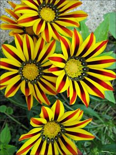 Gazania one of my fav annuals .. comes in a variety of colours... close at night and open in the sun.