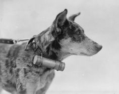 A messenger dog showing the tin cylinder in which the message was carried, Etaples, 1918