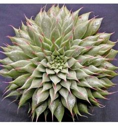 Shop our huge range of succulents online for shipping in Australia. We stock rare, common and sought after succulents. Growing Succulents, Succulents In Containers, Cacti And Succulents, Planting Succulents, Planting Flowers, Succulent Gardening, Succulent Terrarium, Container Gardening, Terrariums