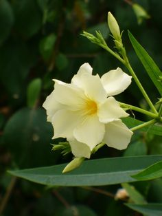 Mathilde Ferrier Oleander, Hardy Double Yellow Oleander - Shrubs & Trees - All Beautiful Flowers, Flower Pots, Oleander, Flower Garden, Flowers, Flower Care, Plants, Planting Flowers, Language Of Flowers