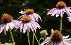 """Coneflowers or Echinacea // how to grow and care for them // There are many awesome varieties, from the classic pink-lavender flowers with orange centers, to newer """"Milkshake"""", a pretty all-white variety, to """"Kim's Knee High"""", a beautiful, tall and full variety which boasts over 50 flowers on each plant and lovely shades of orange and deep pink."""