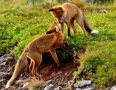 FOX PLAY by Hannu Koskela on 500px