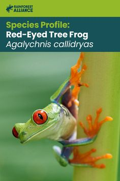 """The red-eyed tree frog's eyes are an example of a defense mechanism called """"startle coloration."""" When the frog closes its eyes, its green eyelids let it blend in with the leafy environment. If approached while asleep, its suddenly open eyes will startle an intruder, giving the frog time to escape. Click to learn more about these colorful frogs! Frog Eye, Red Eyed Tree Frog, Tree Frogs, Red Eyes, Wild Things, Suddenly, Environment, Colorful, Green"""