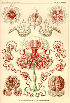 "Ernst Haeckel, ""Anthomedusae"", from Kunstformen der Natur, 1904"