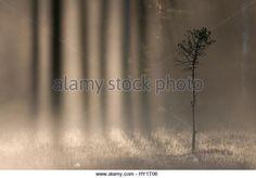 Light shining through treesn in a woodland bog at dawn, Bergslagen, Sweden, June. - Stock Image