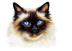 Ragdoll Cat colored pencil drawing ORIGINAL 8 x 11 by ArtbyKerli