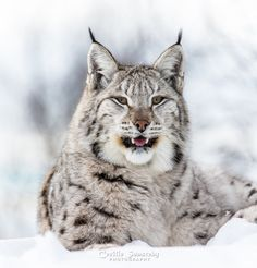 Resting by Cecilie Sønsteby on 500px Eurasian lynx