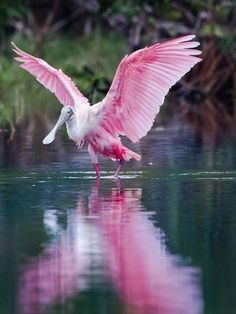 Roseate Spoonbill. I was surprised the first time I saw these in a zoo, because I expected them to be the size of flamingos. They are much smaller.