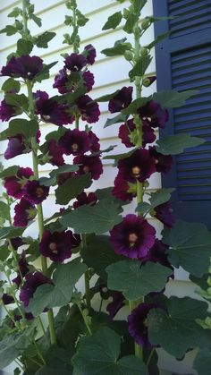 How to Grow Hollyhocks: 15 Steps (with Pictures) - wikiHow