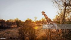 Giraffes at the sunset in Kruger National Park | Kruger National Park, South Africa | #stockphotos #gettyimages #print #travel |