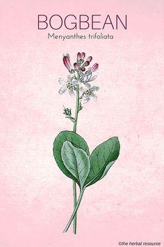 Medicinal Herb Bogbean