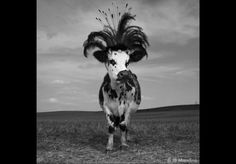 This cow is named Hermione... I can't even make this stuff up.  So cute!!! over at Elle France :