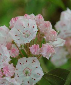 kalmia latifolia Kalmia Latifolia, Garden Nursery, Rose, Flowers, Plants, Italia, Pink, Plant, Roses