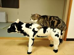 Maru on a cow Baraboo!
