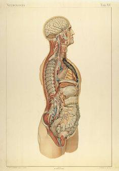 Organe contenu dans une grande cavité du corps (boîte crânienne, cage thoracique, cavité abdominale) . Du latin viscera, de viscus (chair), visceris(intérieur du corps). Appelé aussi :Les viscère…