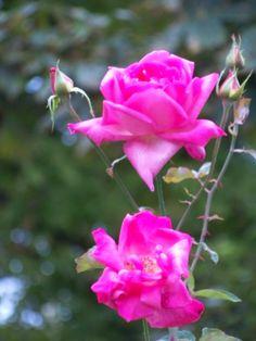 Roses Vienna