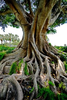 Old multi trunked banyan near gilchrist park in punta gorda florida those banyan trees fandeluxe Choice Image