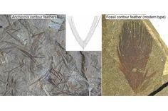 Contour feather comparison in the Avialae etc.
