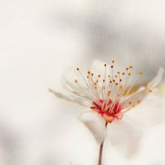 blossom - photographic print from $13.50