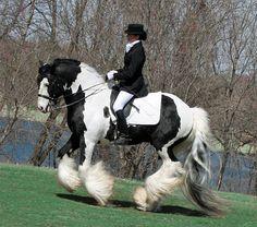 Appaloosa Horses   Super süßer Tinker -Wallach und stute mit schöner langer Mähne 8 ...