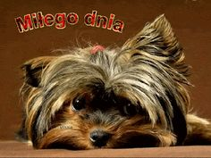 17 Best American Eskimo Spitz Images American Eskimo Dog