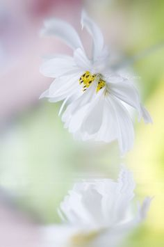 Softly a flower... Flowers For You, Pastel Flowers, White Flowers, Beautiful Flowers, Beautiful Pictures, Flower Pictures, Bokeh, Flower Power, Nature Photography