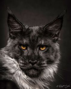 Galaxy. by Robert Sijka on 500px, Maine coon
