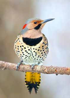 Northern Flicker, front view. Comes each January, but I've seen him a time or 2 this fall as well. 2013