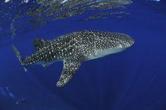 Tiburones ballena en la Isla de Navidad, Australia    Para ver mansos tiburones ballenas devoradores de placton puedes ir a muchos puntos del planeta, pero quizá la Isla de Navidad, cerca de Australia, sea uno de los puntos más importantes del planeta para avistar a estos gigantes por su larga estancia en sus aguas, de noviembre a abril. Además, ya que andas en la llamada 'isla Galápagos del Océano Índico' puedes ver la migración anual del cangrejo rojo.    www.buceas.es  Vía: traveler.es