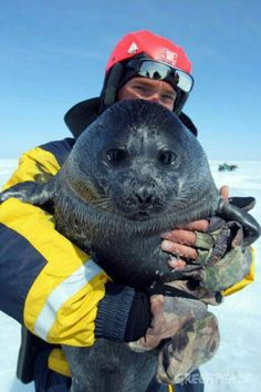 Baikal seal - nerpa, only seal that lives in freshwater