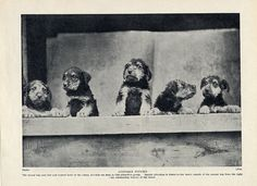 Airedale Terrier Original Vintage Dog Print Page 1934 Lovely Group of Puppies   eBay