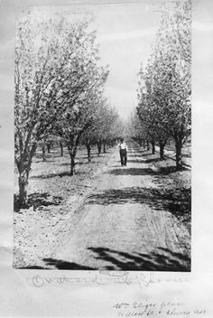 William Geiger owned 14 acres on Willow Street between Cherry Avenue and Los Gatos Creek. Most of the acreage was planted in cherry trees. Small family orchards like this one thrived in the Santa Clara Valley. Families could make a decent living selling their harvests to packing houses and canneries.
