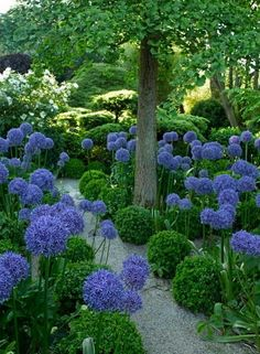 Agapanthus - beautiful! I love agapanthus. And love them with these rounded ?Boxwoods.