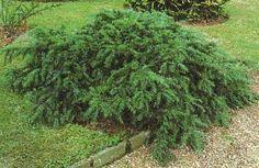 Taxus Baccata, Repandens, Taxus Baccata, Garden Design, Backyard, Landscape, Plants, Woody, Outdoor, Inspiration, Design Ideas