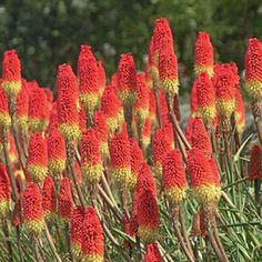 Kniphofia 'Royal Standard': Zones 2-4 bulb (needs to be lifted in the fall)