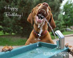 "Vizsla Dog birthday cards - set of 4 - Funny dog birthday card (5.5 x 4.25"" cards)"