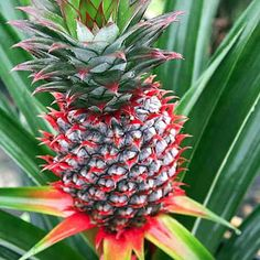 """Florida Special Pineapple Plant - Ananas - Great Indoors/Out - 4"""" Pot"""