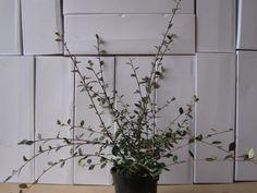 Cotoneaster lacteus 3 Litre Pot