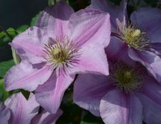 available from Taylors Clematis