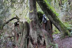 little kid playing on the trunk of what was once a massive old growth cedar