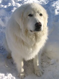 Our Great Pyreneese - Kosmo