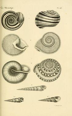 Thomas Martyn | Le conchyliologiste universel, ou, Figures des coquilles jusqu'à présent inconnues recueillies en divers voyages a la mer du sud depuis l'année 1764 (1845)